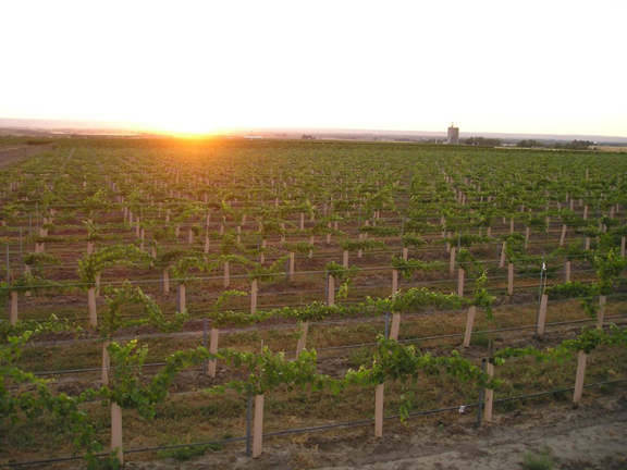 Sun setting over the LesCollines vineyard near Walla Walla, source of half the juice in our 2013 Naked Penetration Cabernet Sauvignon.